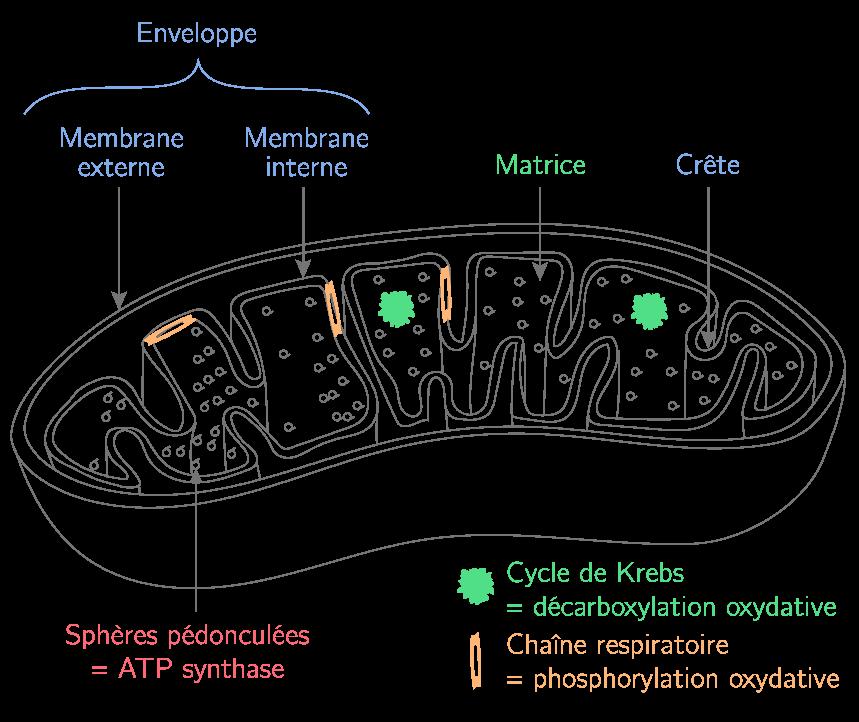 Structure de la mitochondrie