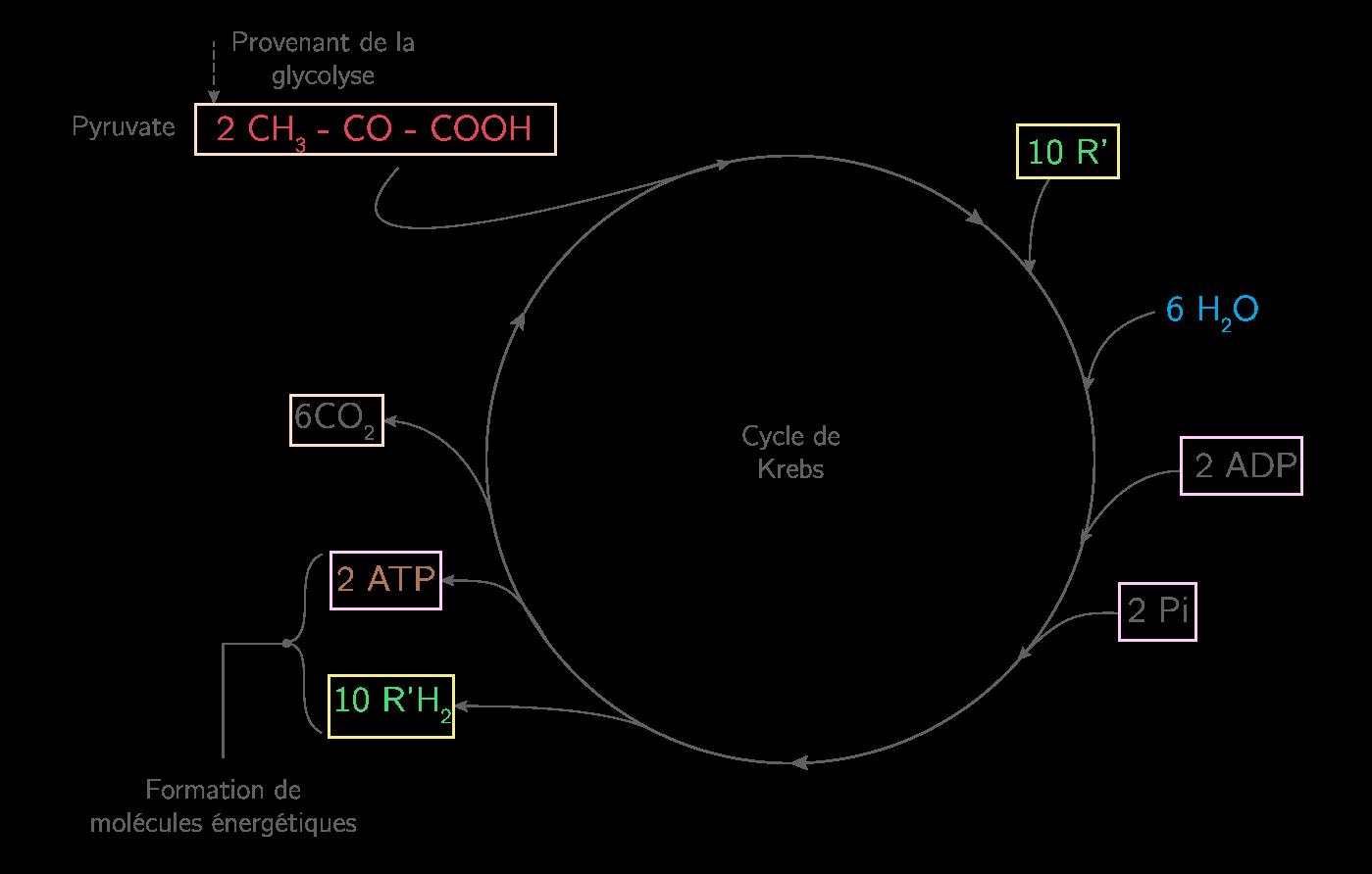 Le cycle de Krebs