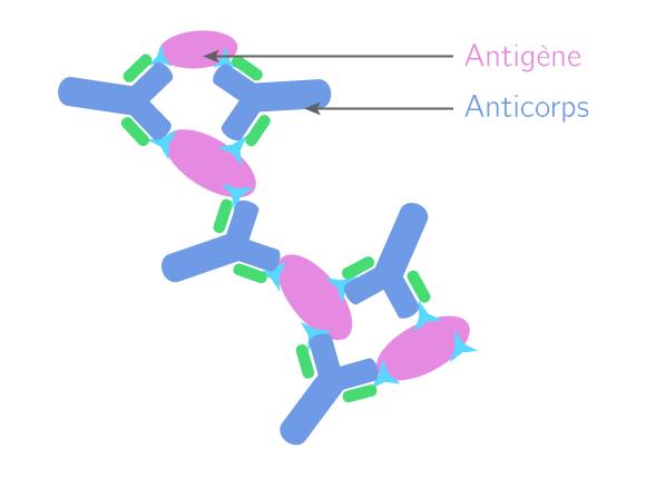 La structure du complexe immun