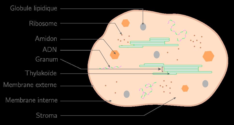 L'ultrastructure du chloroplaste