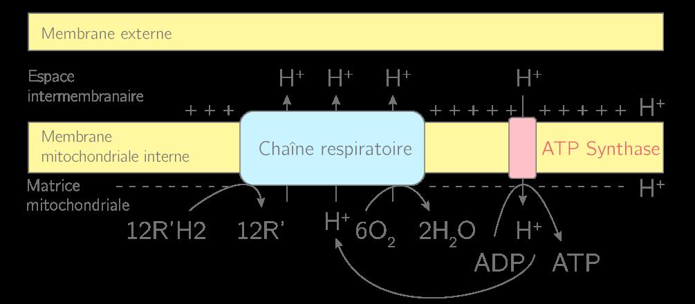 Schématisation de la chaîne respiratoire