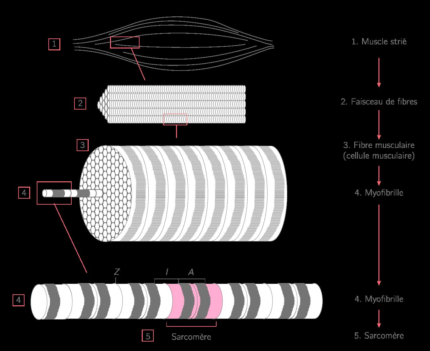 La structure du muscle