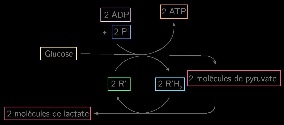 Les étapes de la fermentation lactique