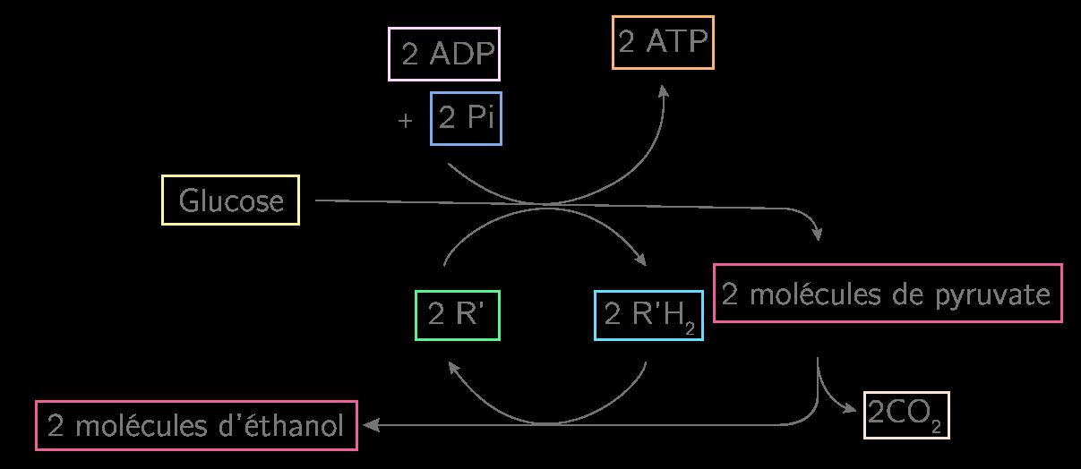 Les étapes de la fermentation alcoolique