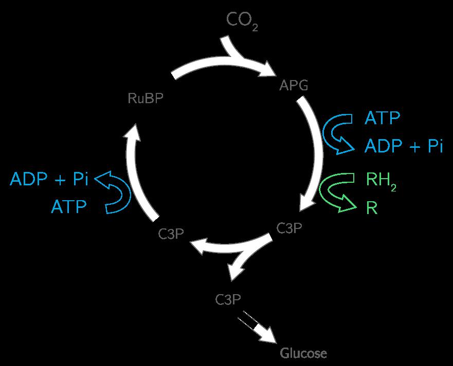 Les étapes de la phase chimique
