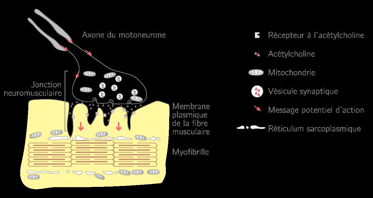 La jonction neuromusculaire ou plaque motrice