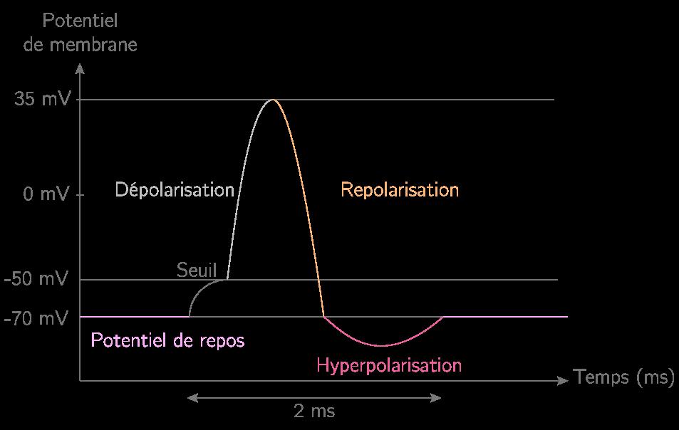 Schématisation du potentiel d'action