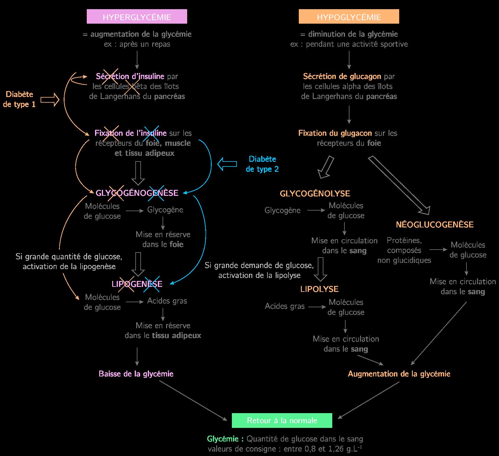 Schématisation de la régulation de la glycémie