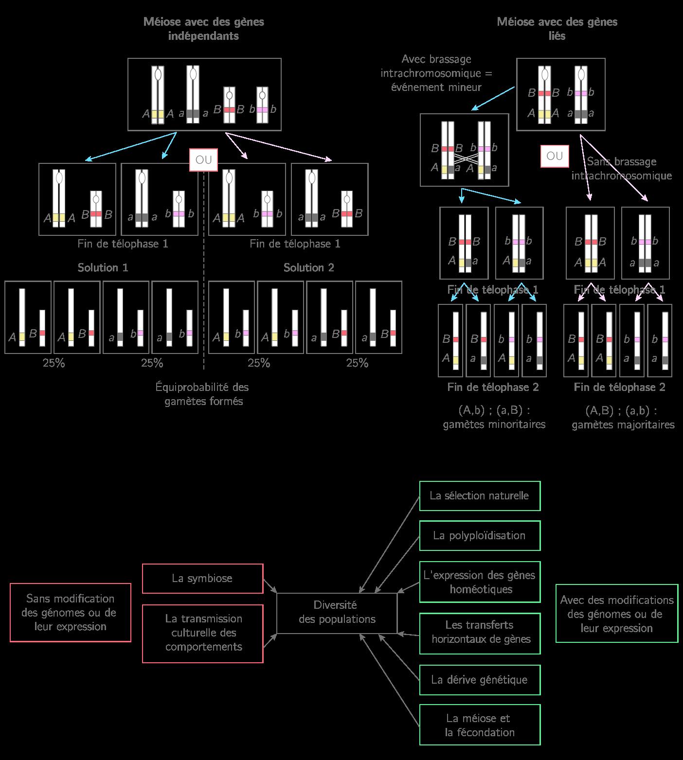 Les différents processus permettant la diversité des génomes
