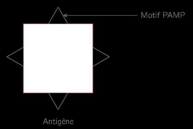 Structure d'un antigène