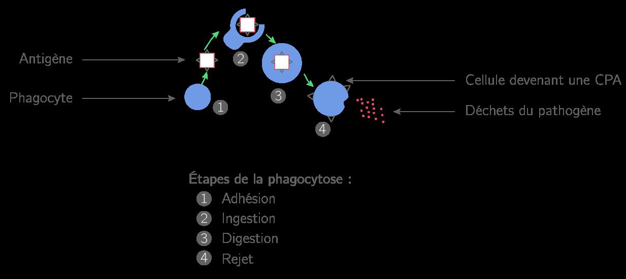Les étapes de la phagocytose
