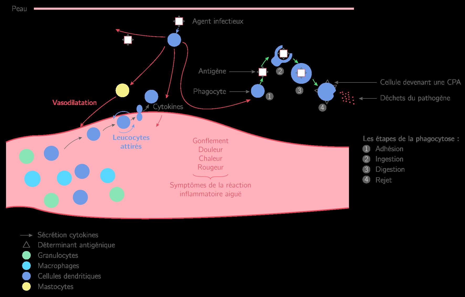 Les étapes de la réaction inflammatoire