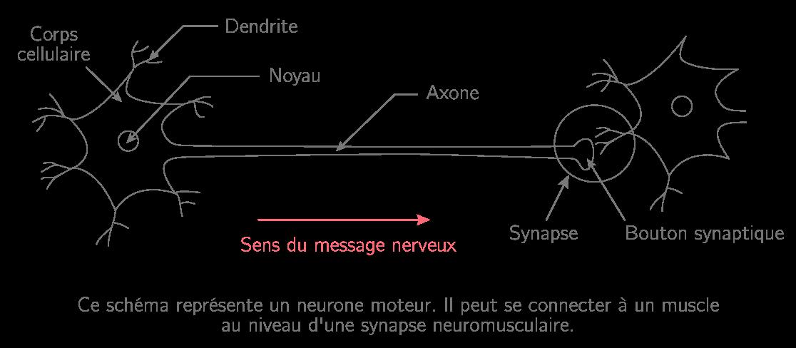 Schématisation d'un neurone moteur