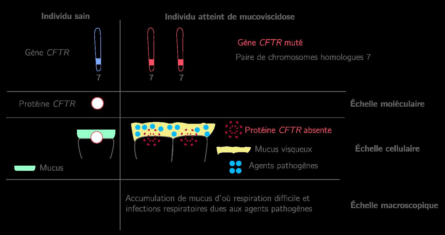 Schéma des différentes échelles d'expression de la mucoviscidose