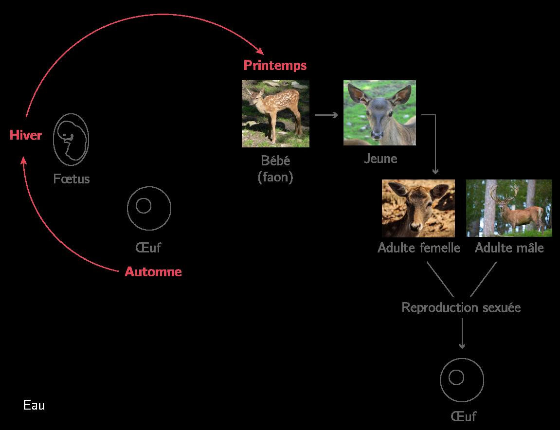 Cycle de vie du cerf élaphe