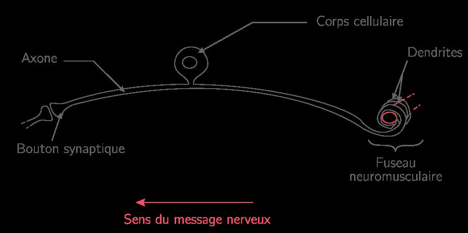 La transmission de l'information dans un neurone en T