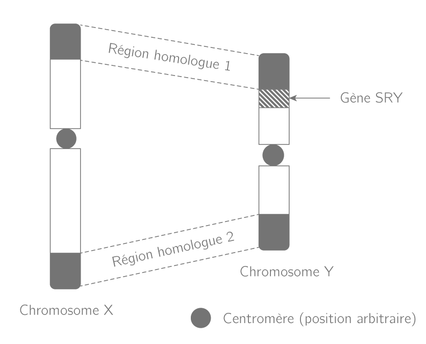 Schéma des chromosomes sexuels