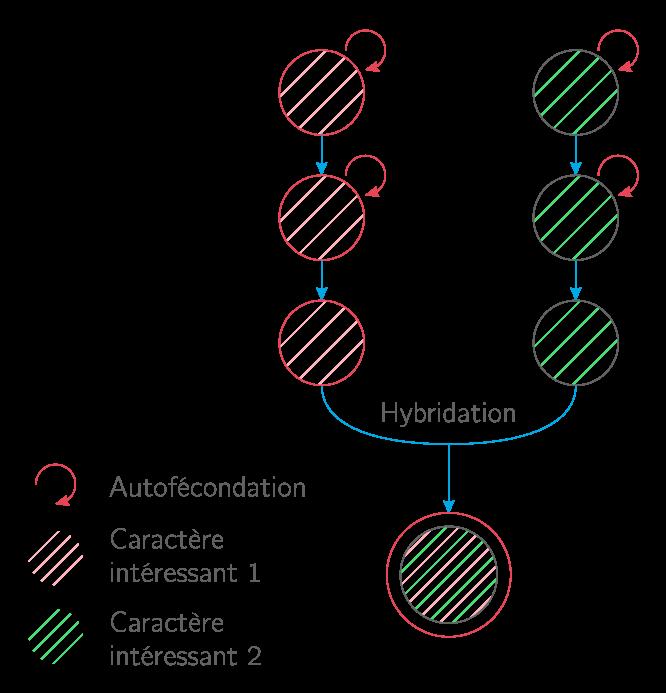 L'hybridation