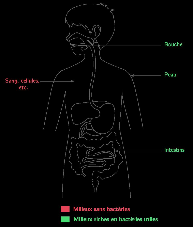 Répartition des bactéries au niveau de notre organisme