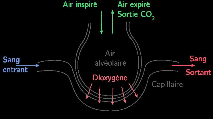 Schéma fonctionnel d'une alvéole pulmonaire