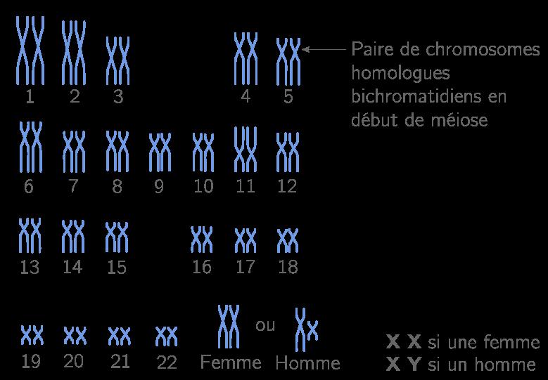 Caryotype d'une cellule humaine, les chromosomes sont par paires d'homologues (cellule diploïde)