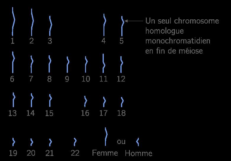 Caryotype d'un gamète humain, il n'y a qu'un seul chromosome de la paire (cellule haploïde)