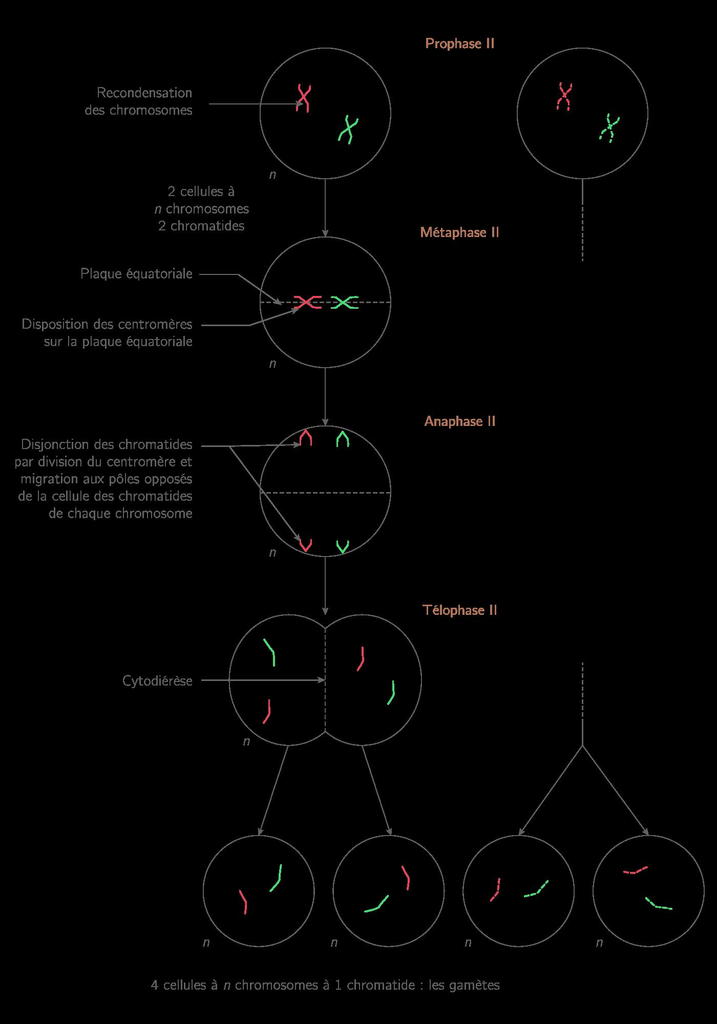 Deuxième division de méiose ou division équationnelle à partir d'une cellule-mère à 2n = 4 chromosomes