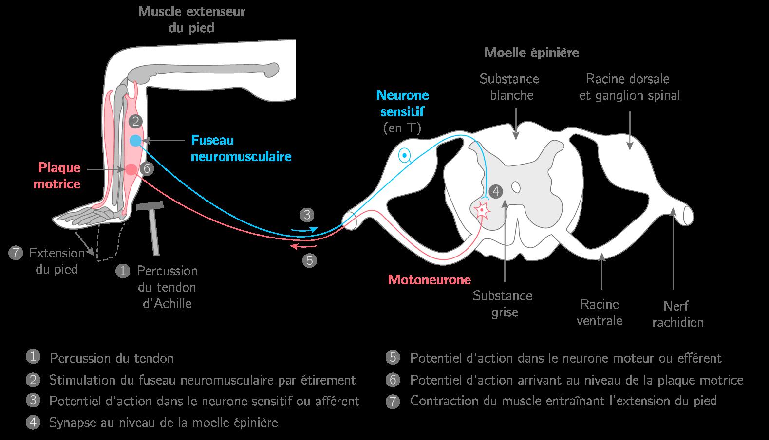 Le réflexe myotatique (exemple du réflexe achilléen)