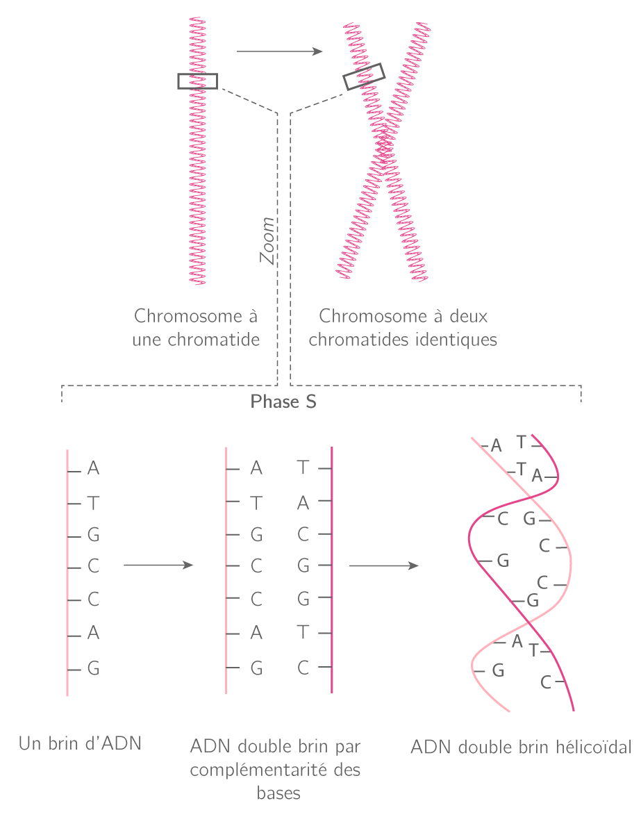 Modélisation de la réplication de l'ADN