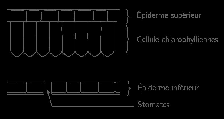 Schéma d'une coupe de feuille