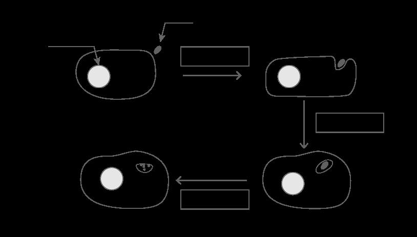 schema phagocytose