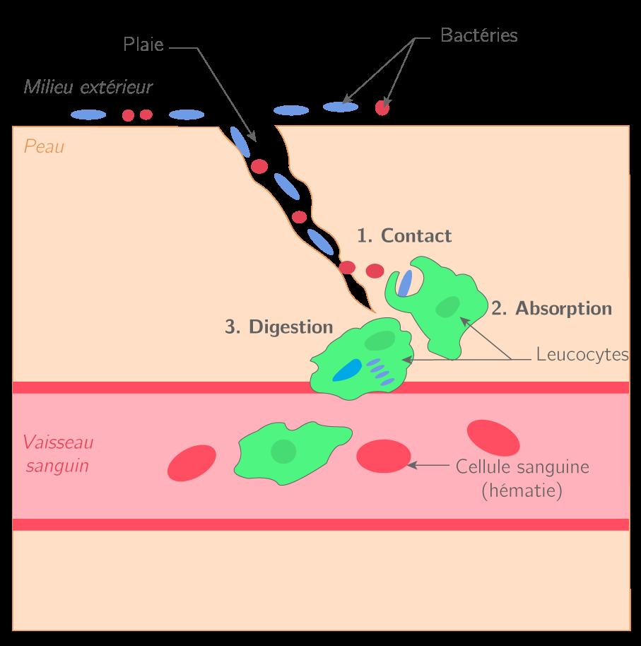 Schéma de la réponse immunitaire non spécifique