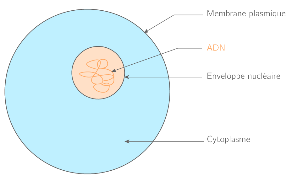 Schéma d'une cellule eucaryote