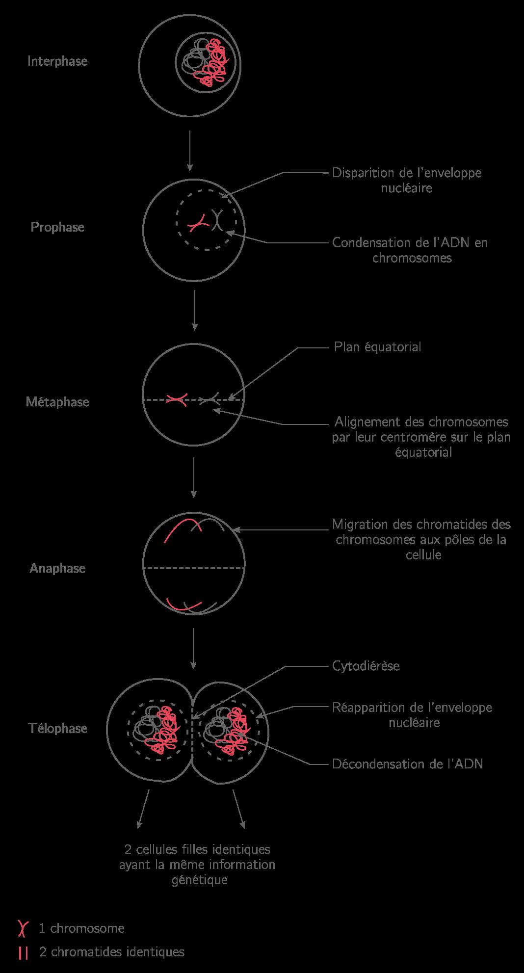La reproduction conforme de la cellule et la réplication