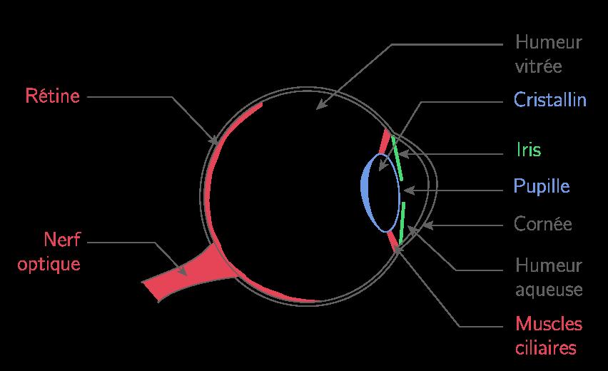 Anatomie simplifiée de l'œil humain
