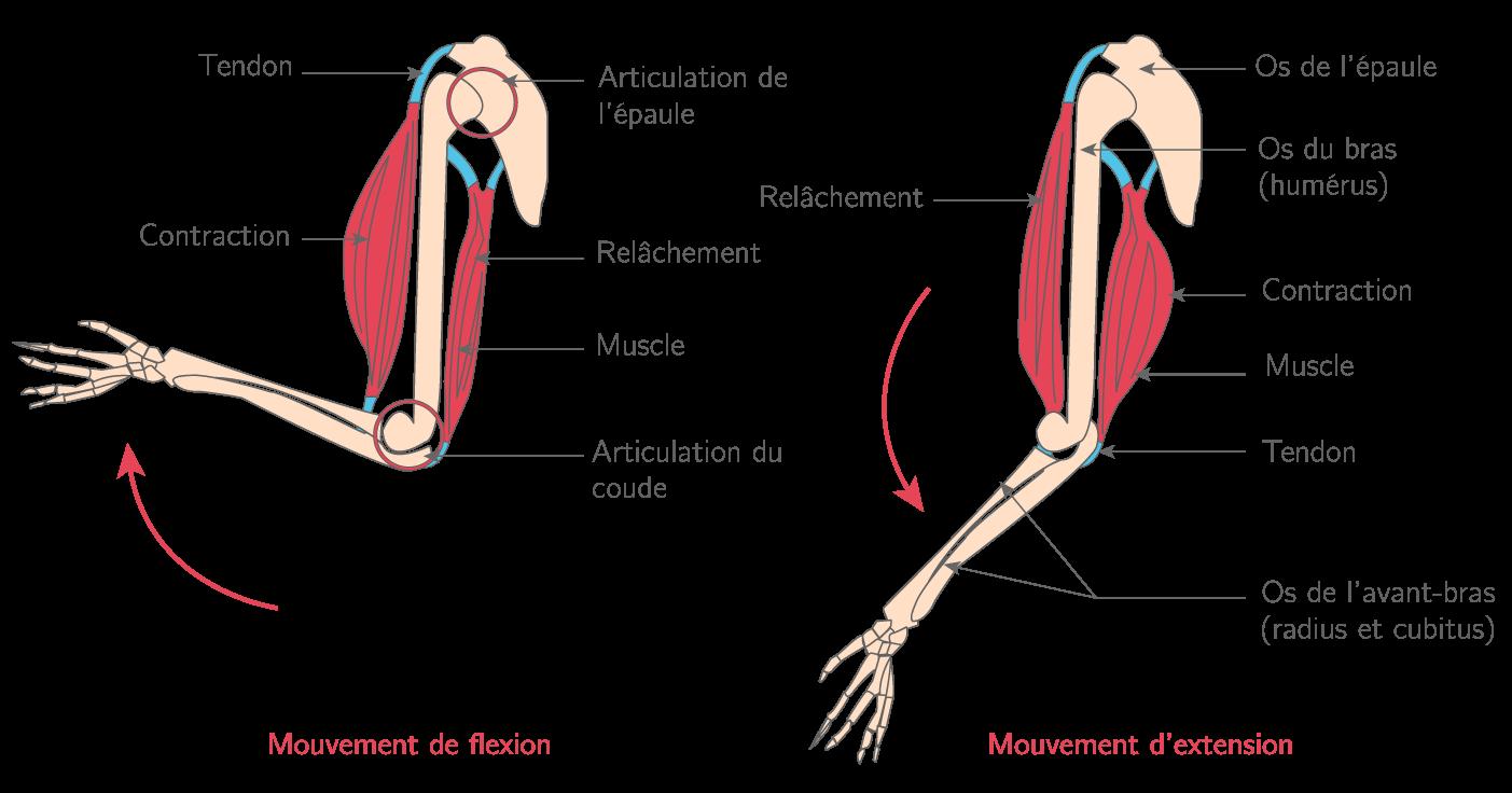 L'organisation fonctionnelle du système musculo-articulaire, exemple du membre antérieur