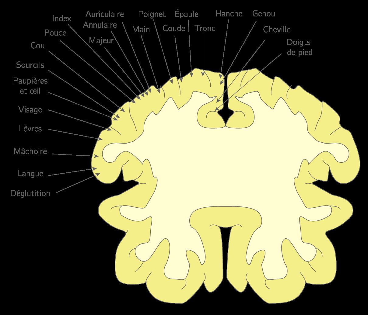 La correspondance des zones du cortex moteur avec les parties de l'organisme