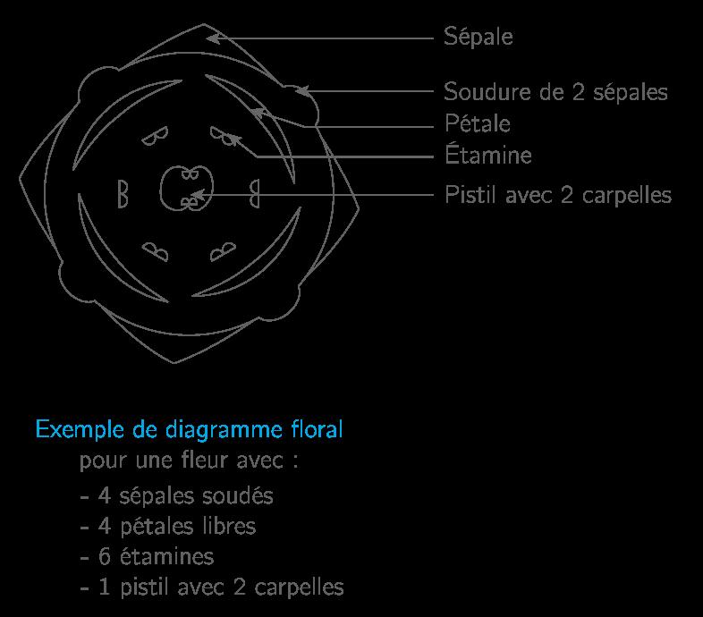 Exemple d'un diagramme floral