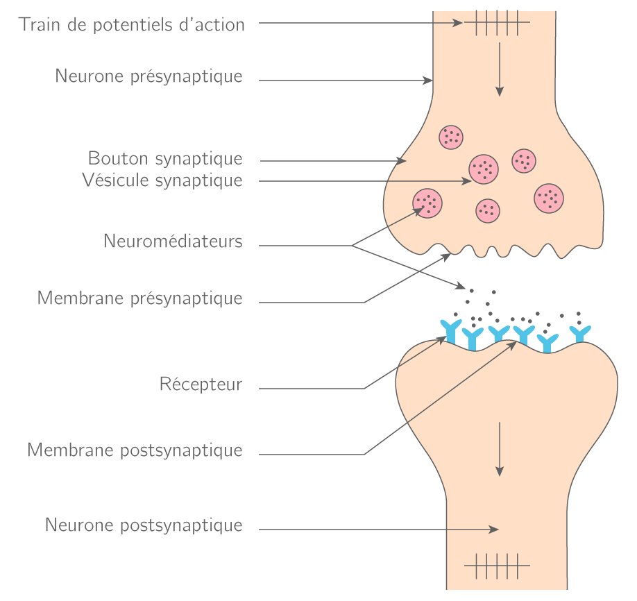 Neuronale Synapse