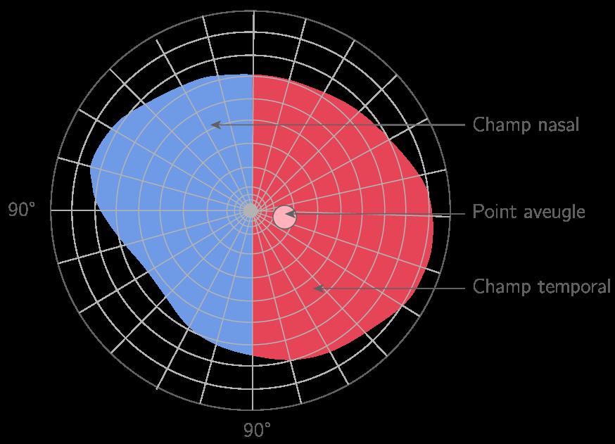 Les zones rétiniennes de l'œil droit