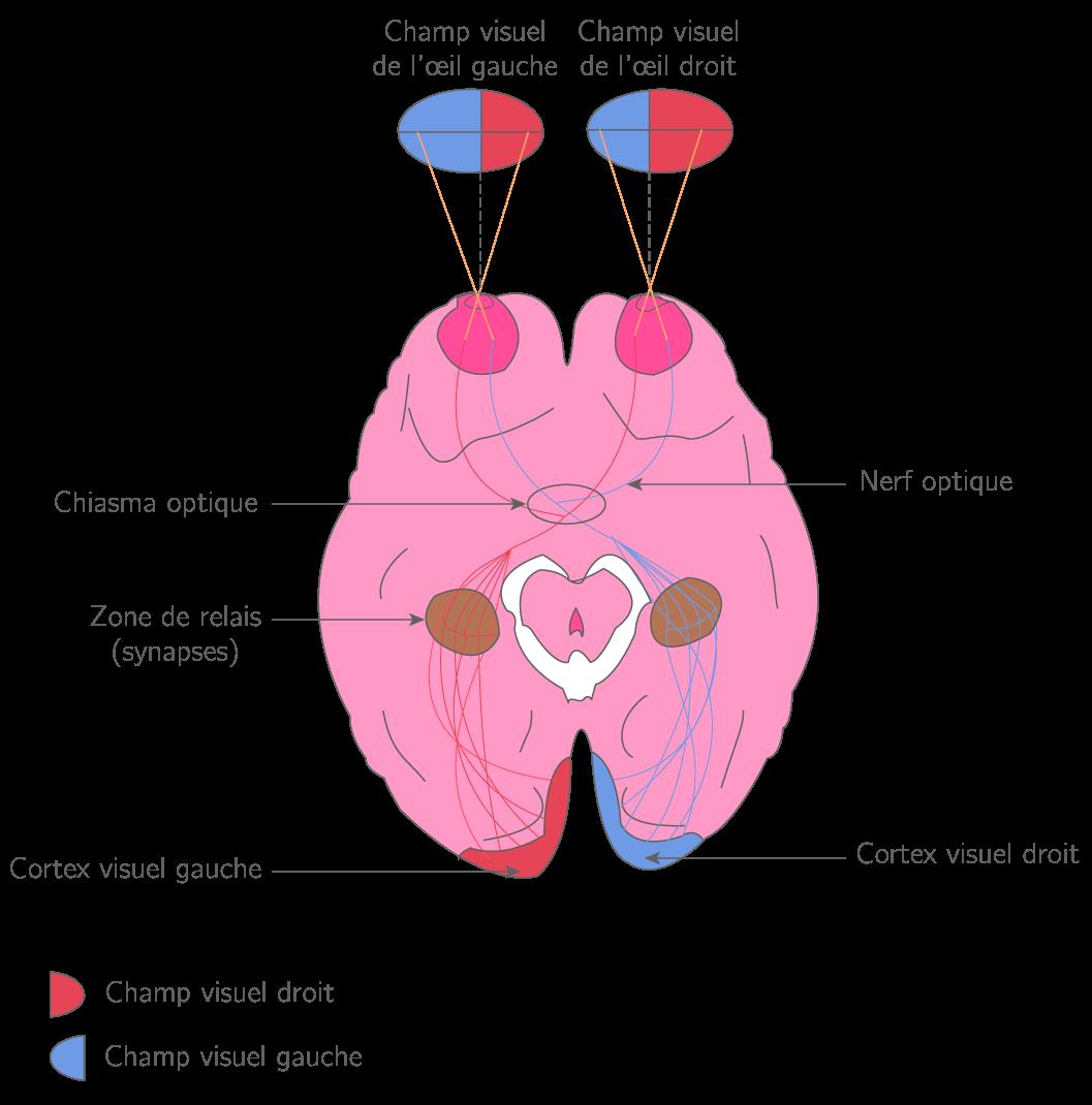Transmission des informations des rétines jusqu'aux cortex visuels