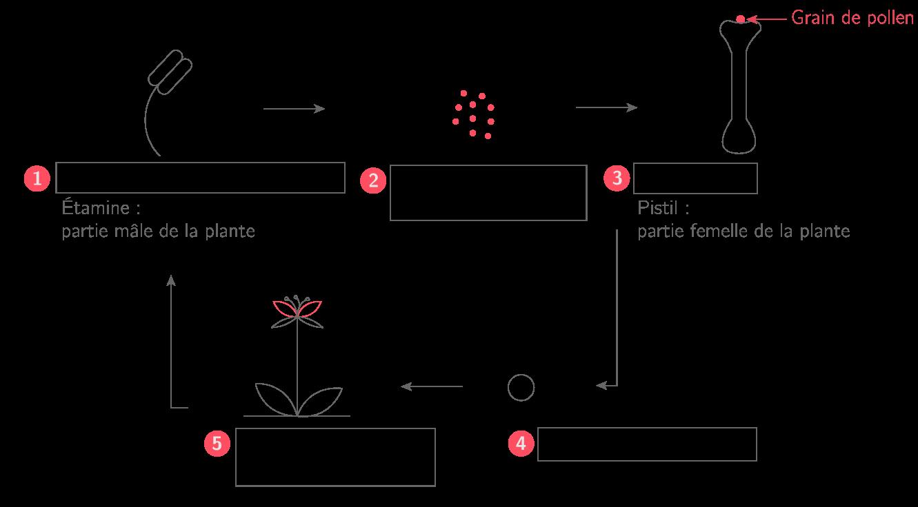 Les étapes de la reproduction sexuée chez une plante