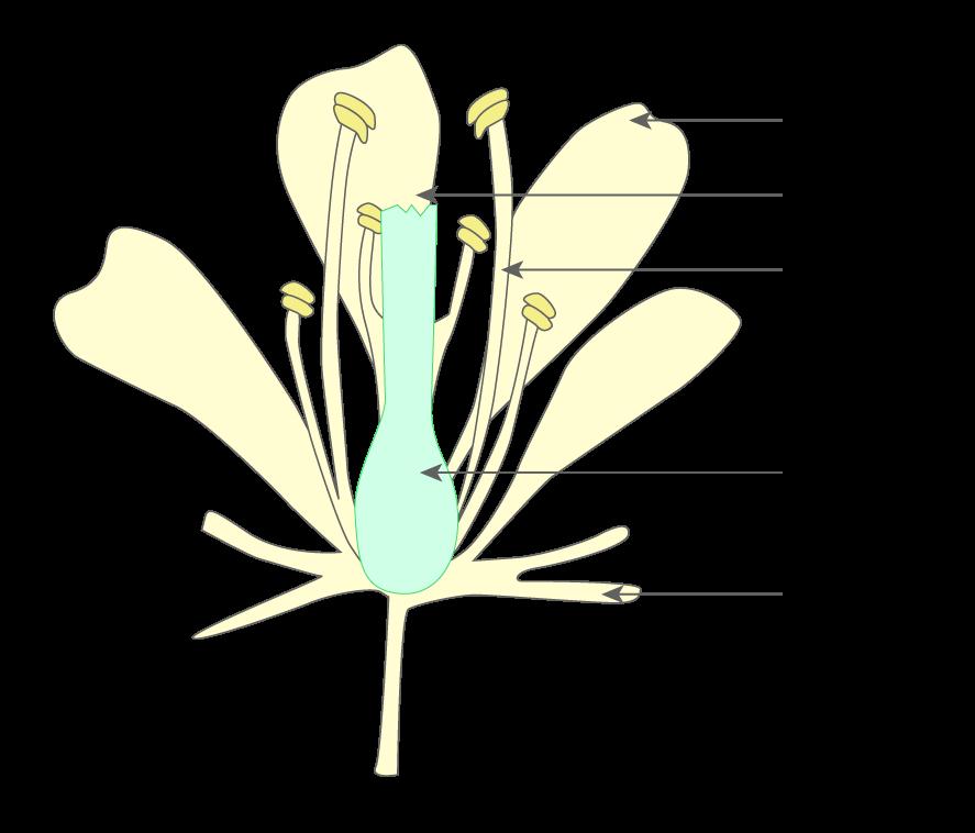 Légender le schéma d'une fleur - 6e - Exercice de ...