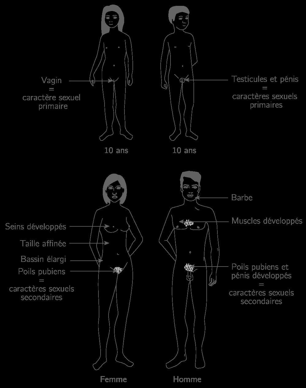 Différences morphologiques entre l'homme, la femme, le garçon et la fille