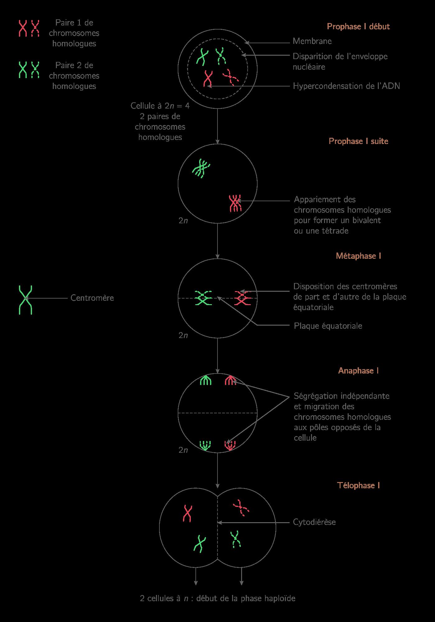 Première division de méiose ou division réductionnelle