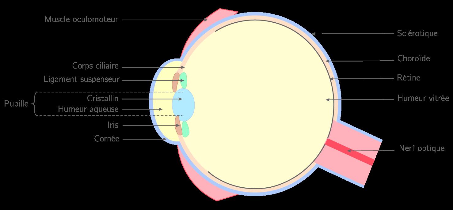 Schéma de l'anatomie de l'œil