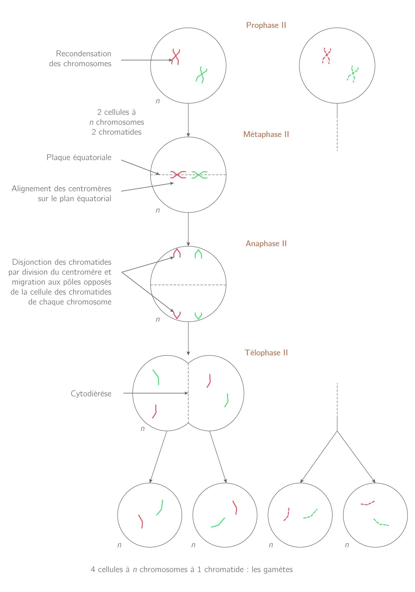 Les étapes de la seconde division de méiose