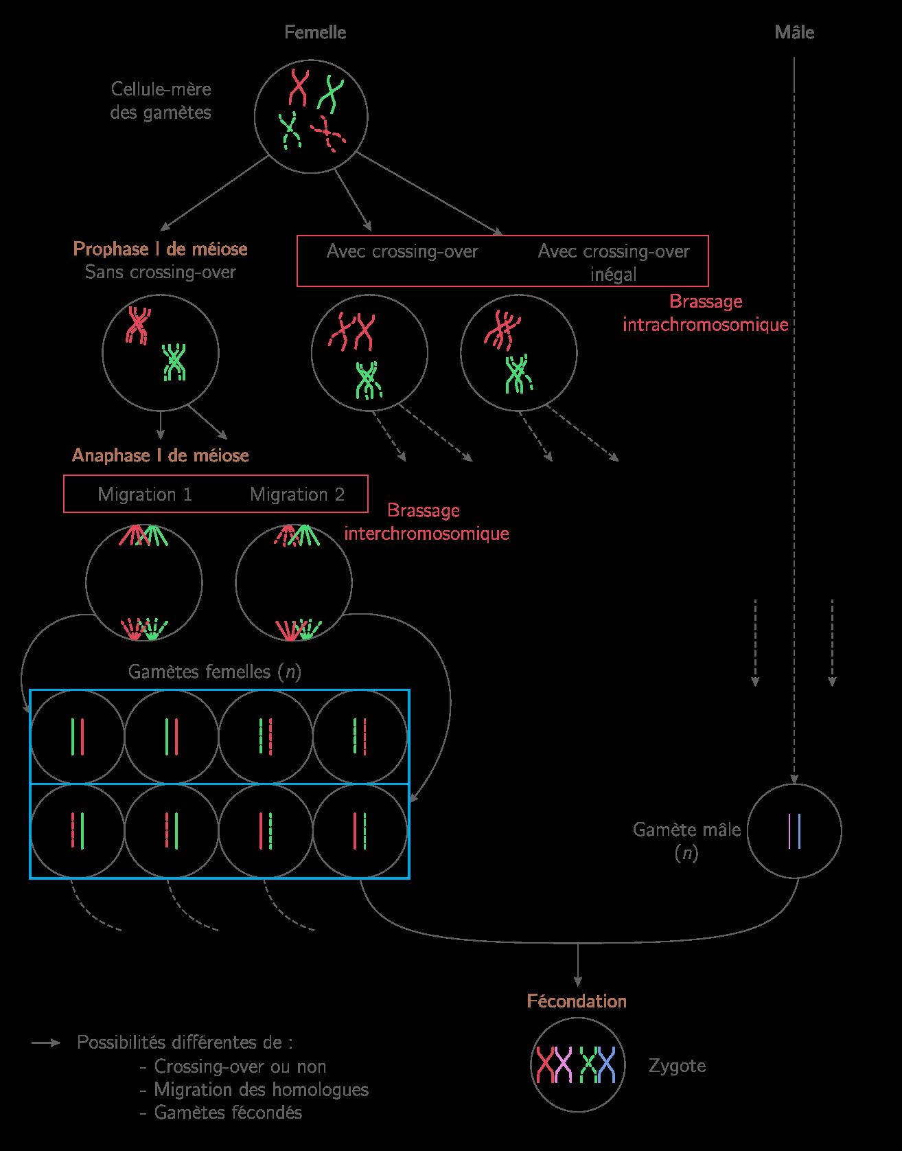 Le brassage génétique et sa contribution à la diversité génétique