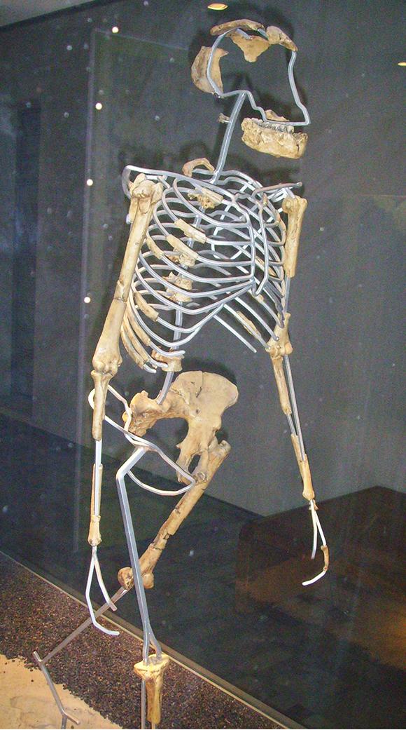 La reconstitution du squelette de Lucy.