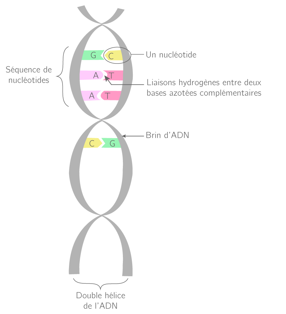 Représentation d'une portion de la molécule d'ADN